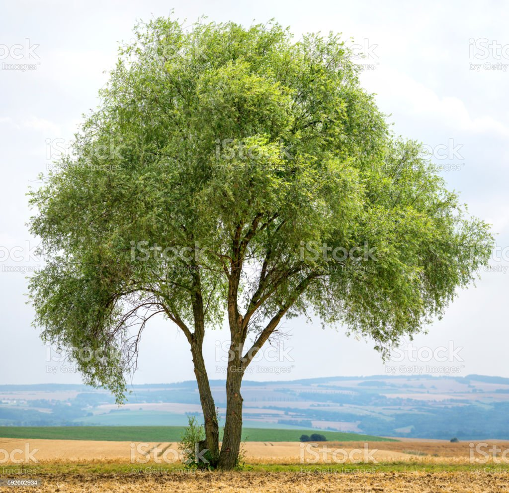 Crack willow or Salix fragilis stands exposed in rural landscape. stock photo