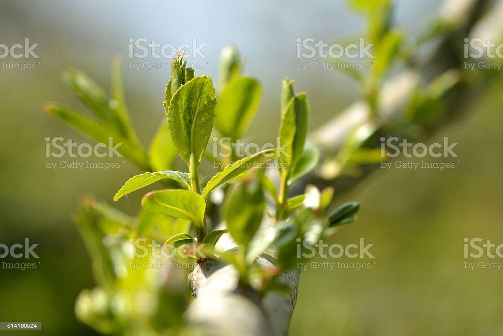 Crack willow (Salix fragilis) stock photo