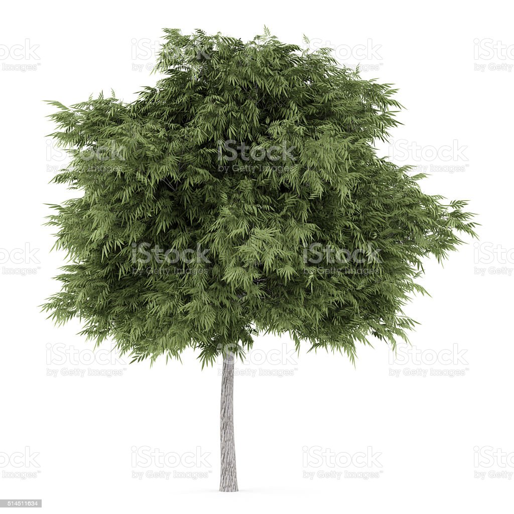 crack willow tree isolated on white background stock photo