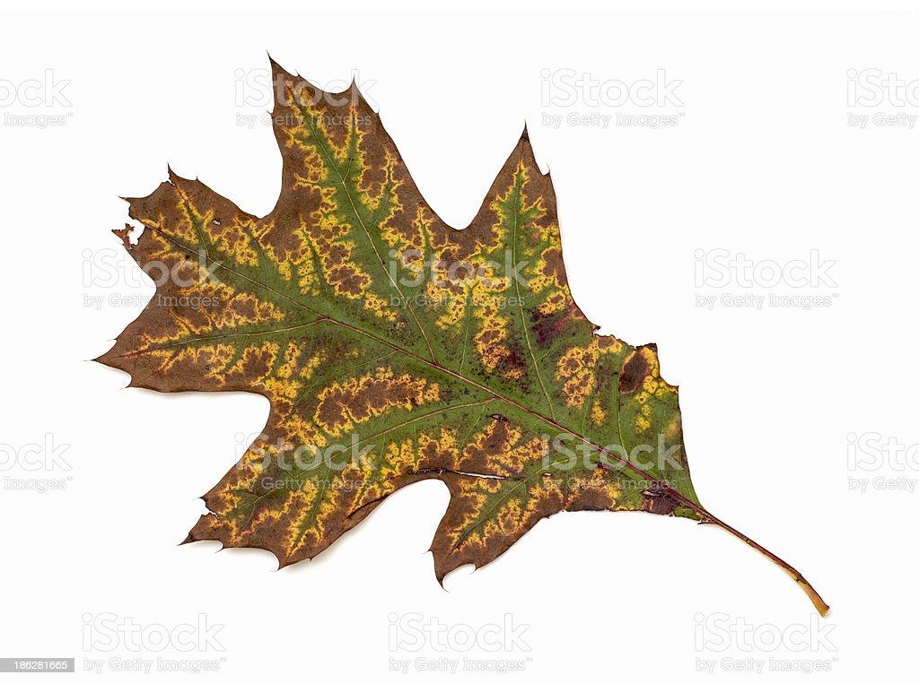 Cracked autumn leaf stock photo