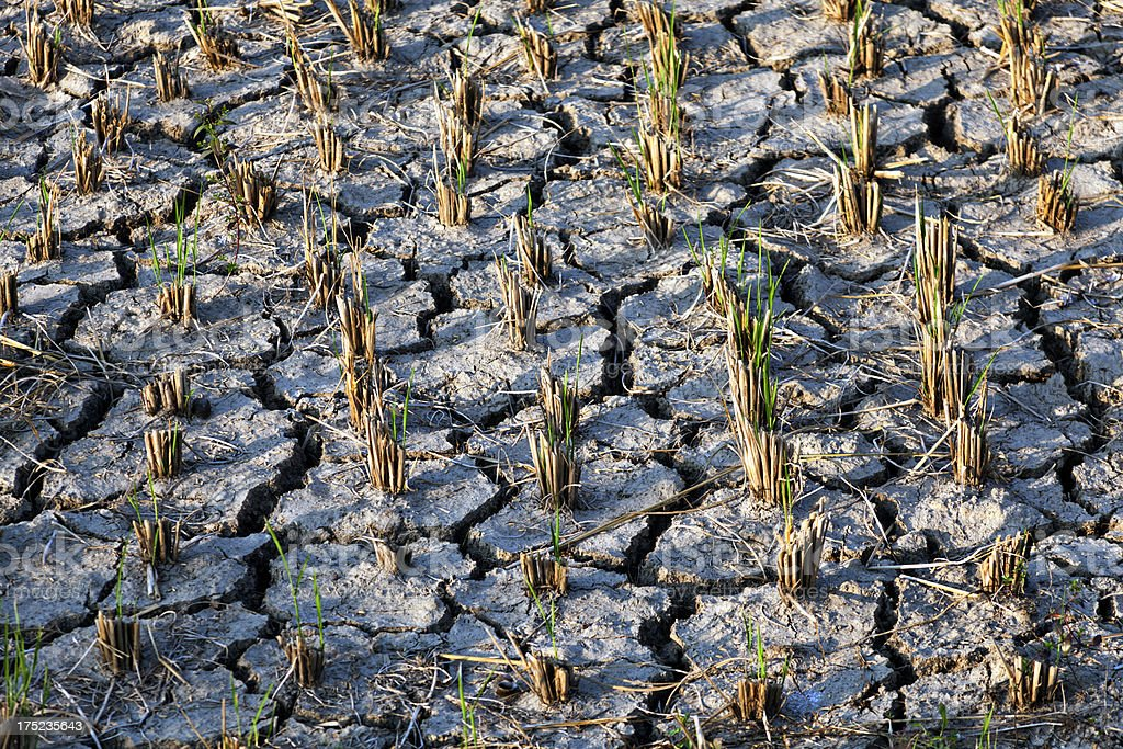 cracked dry earth with rice stubble stock photo