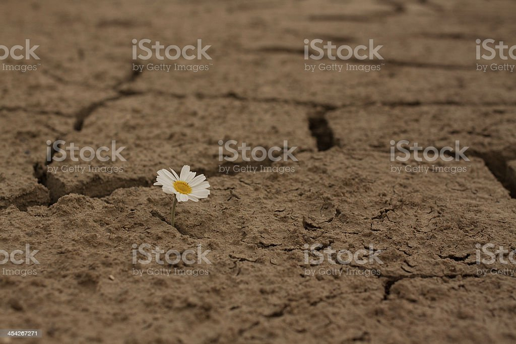Cracked earth daisy flowers Survival royalty-free stock photo