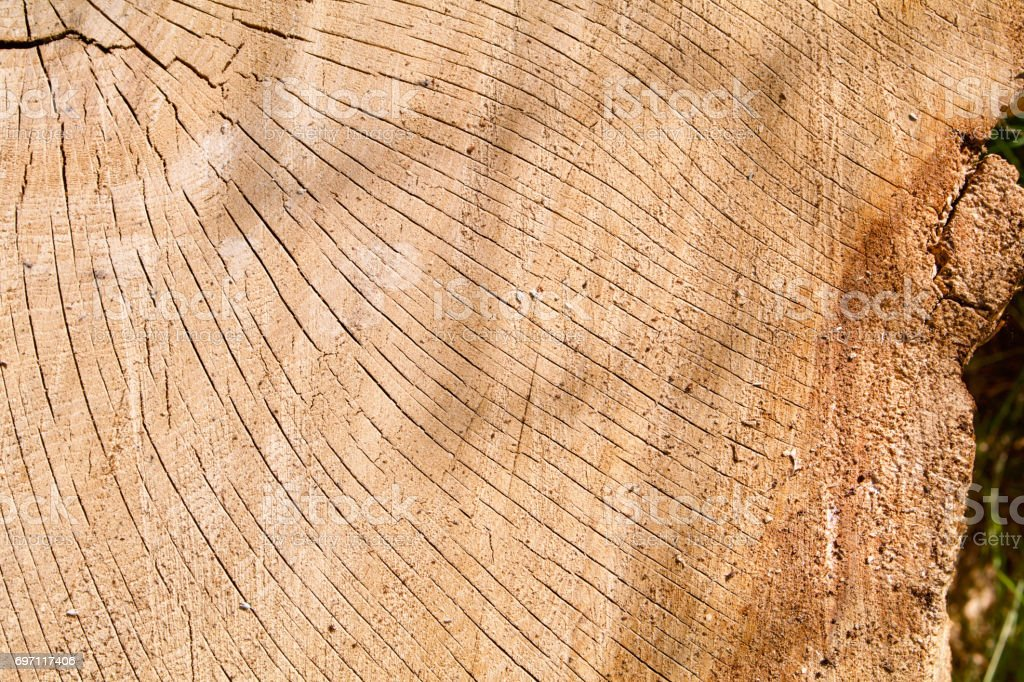 Cracked Oak Log Cross Section stock photo