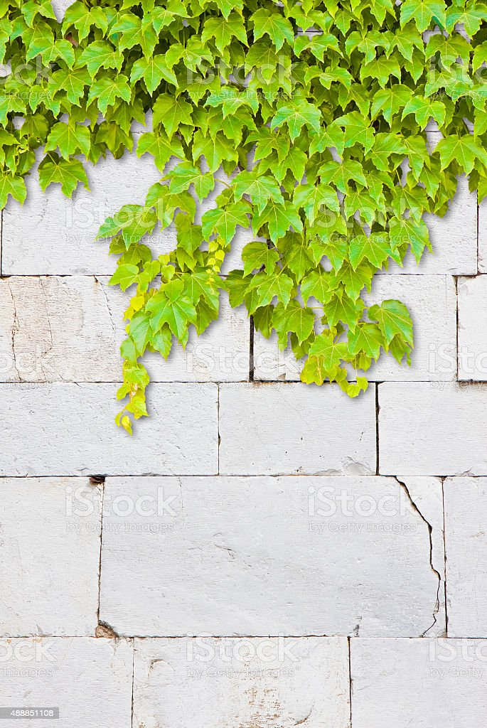 Cracked white stone wall with climbing ivy stock photo