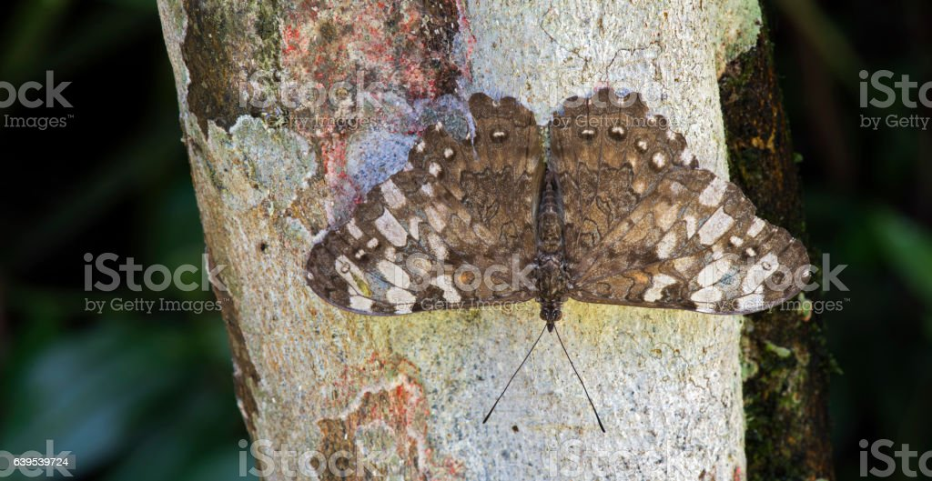 Cracker butterfly sighted in remnant of Atlantic Rainforest stock photo