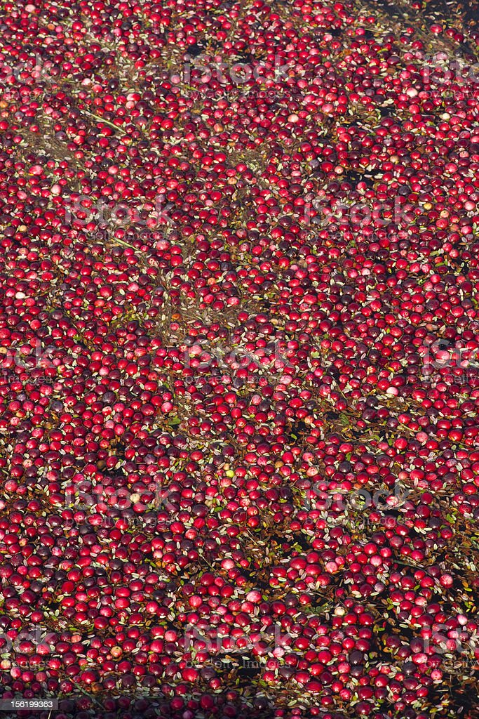 Cranberries Fresh Fruit Ready for Harvest in the Bog royalty-free stock photo