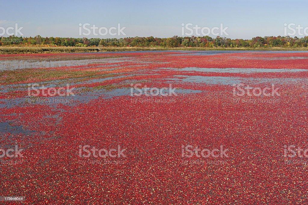 Cranberry Bog and Autumn Foliage royalty-free stock photo