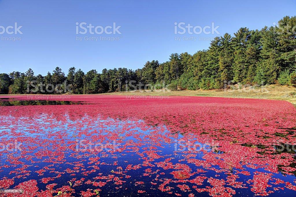 Cranberry Bog stock photo