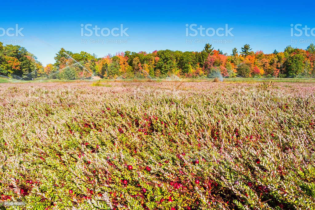 Cranberry Bog With Ripe Cranberries stock photo