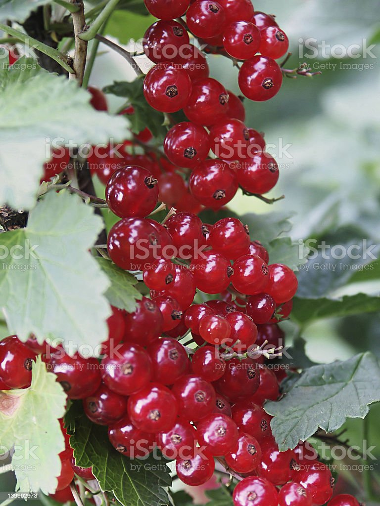 Cranberry close up royalty-free stock photo