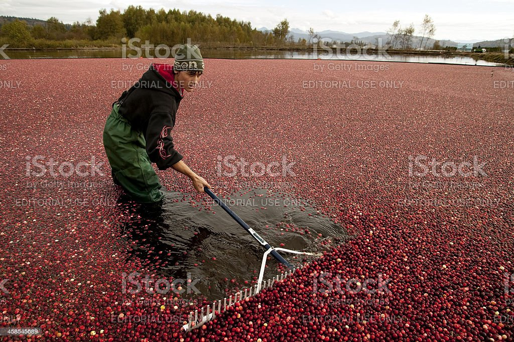 cranberry harvest stock photo