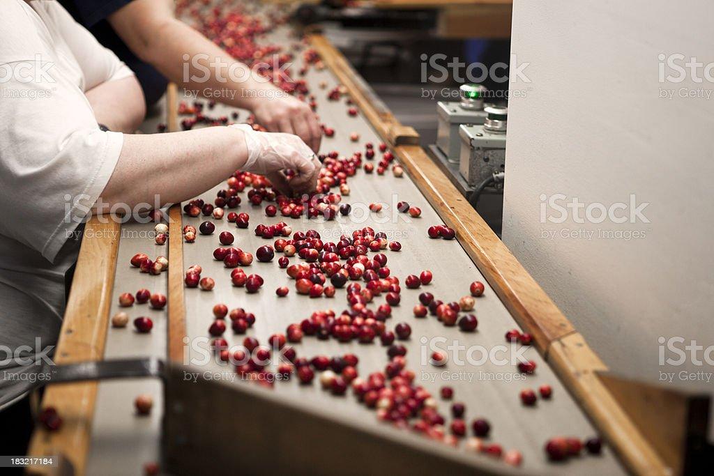 Cranberry harvest sorters stock photo