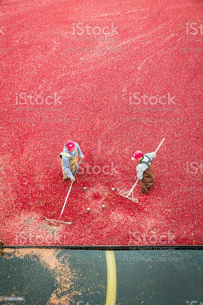 Cranberry Harvest Workers stock photo