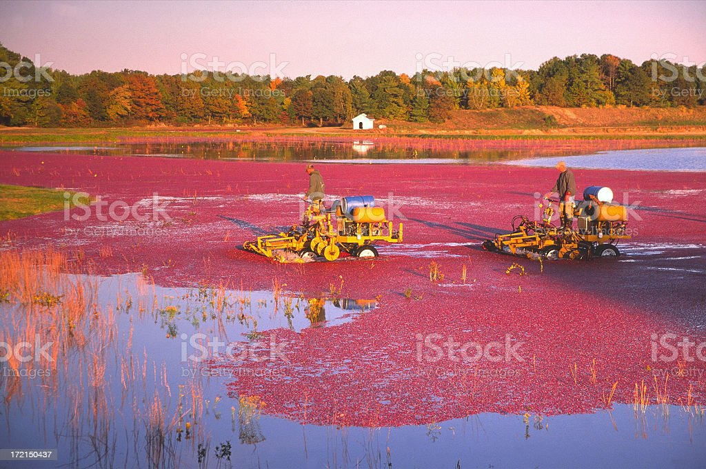 Cranberry Harvesting royalty-free stock photo