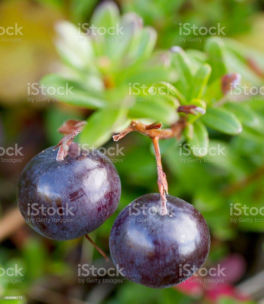 Cranberry (Vaccinium macrocarpon) stock photo