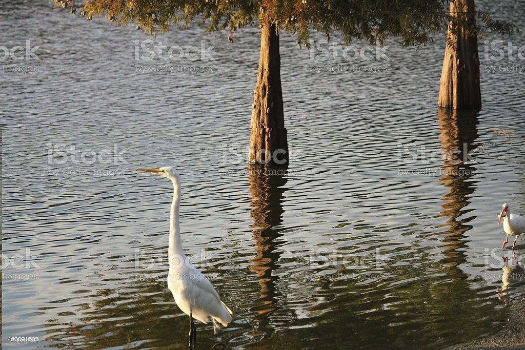 Crane and Ibis birds stock photo