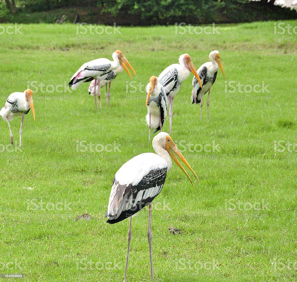 Crane birds royalty-free stock photo