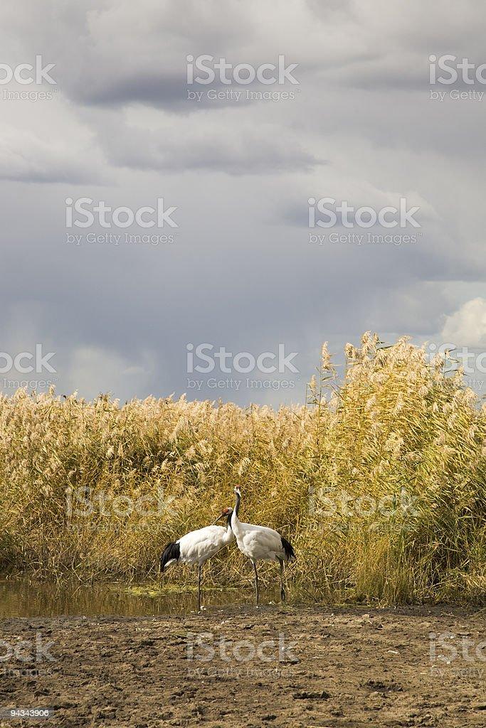 crane couple royalty-free stock photo