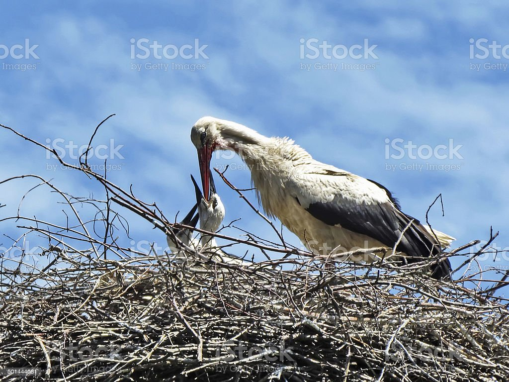 Crane feeding its young on the sky background stock photo