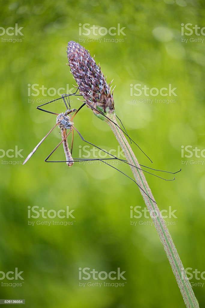 Crane fly climbing a plant on dreamy green nature background stock photo