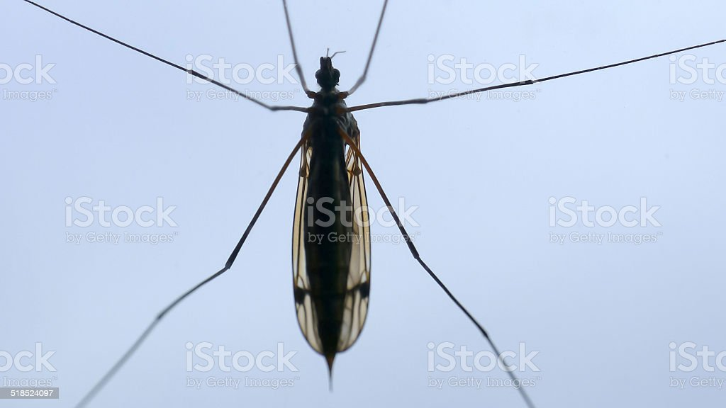 crane fly from below royalty-free stock photo