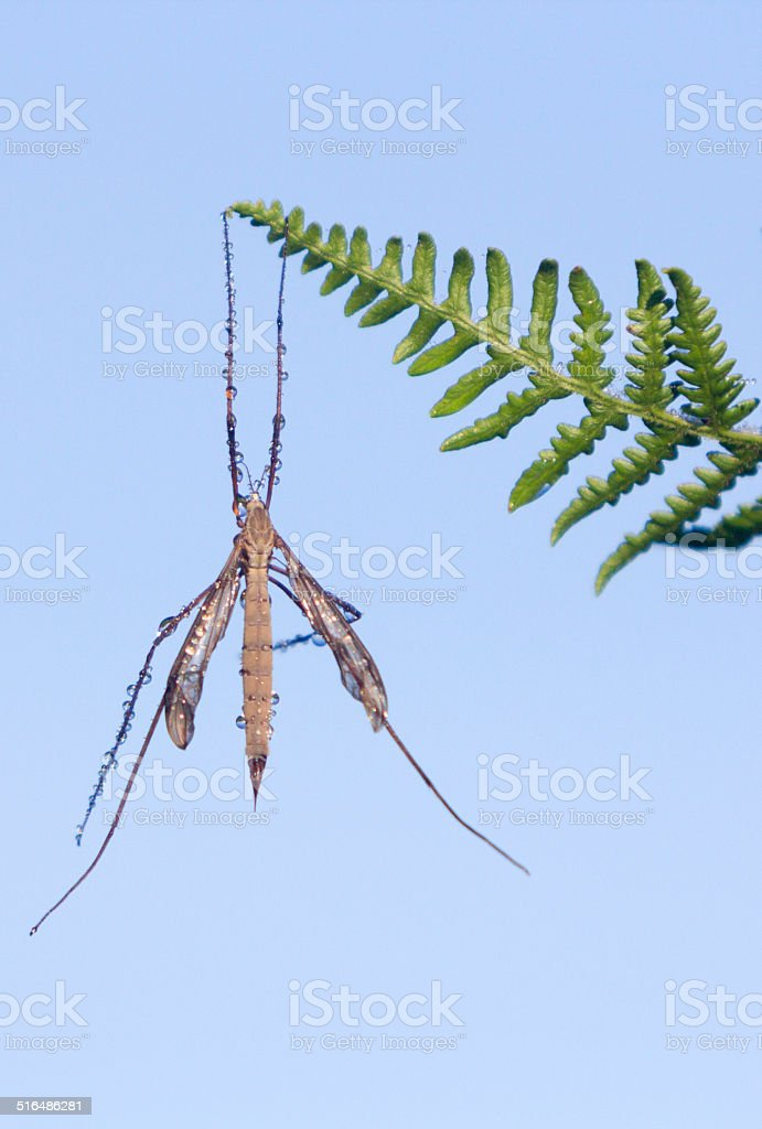 Crane Fly in Knole Park, England stock photo