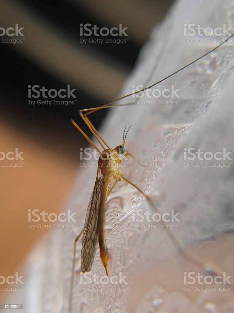 Crane Fly on Bottled Water royalty-free stock photo
