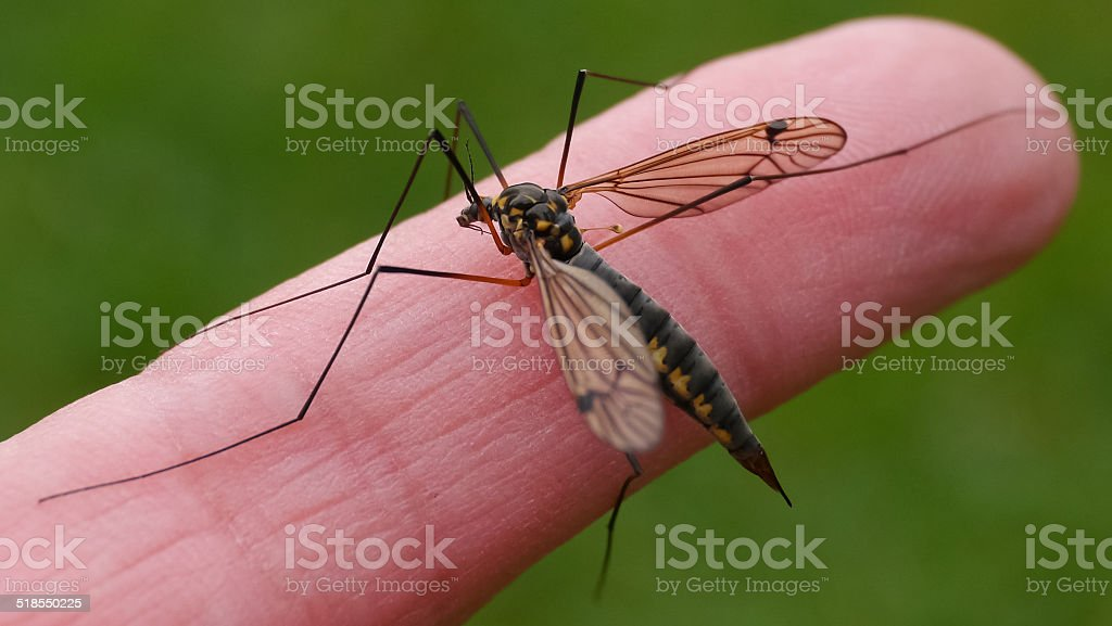 Crane fly on index finger royalty-free stock photo