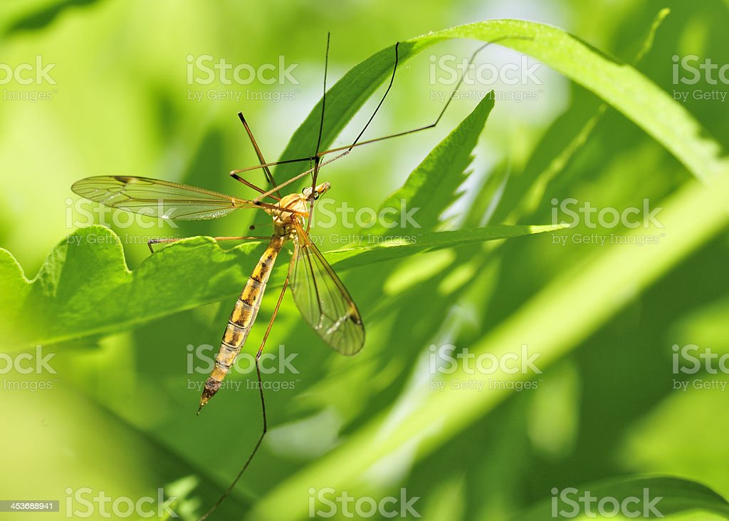 Crane Fly royalty-free stock photo