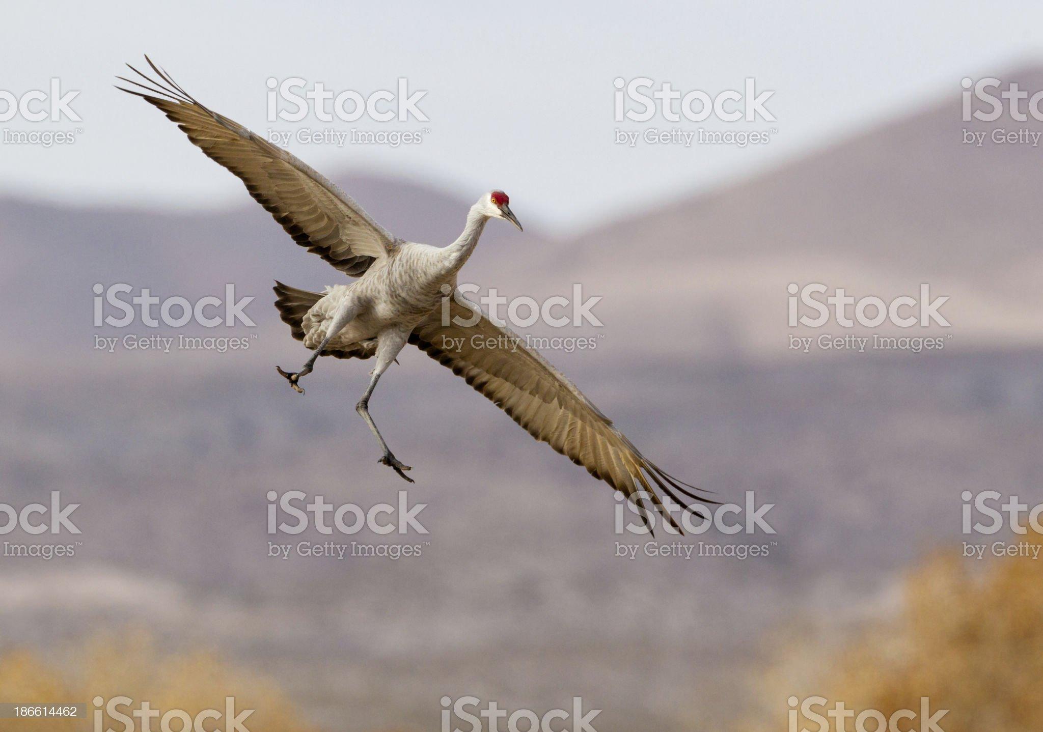 Crane Flying royalty-free stock photo