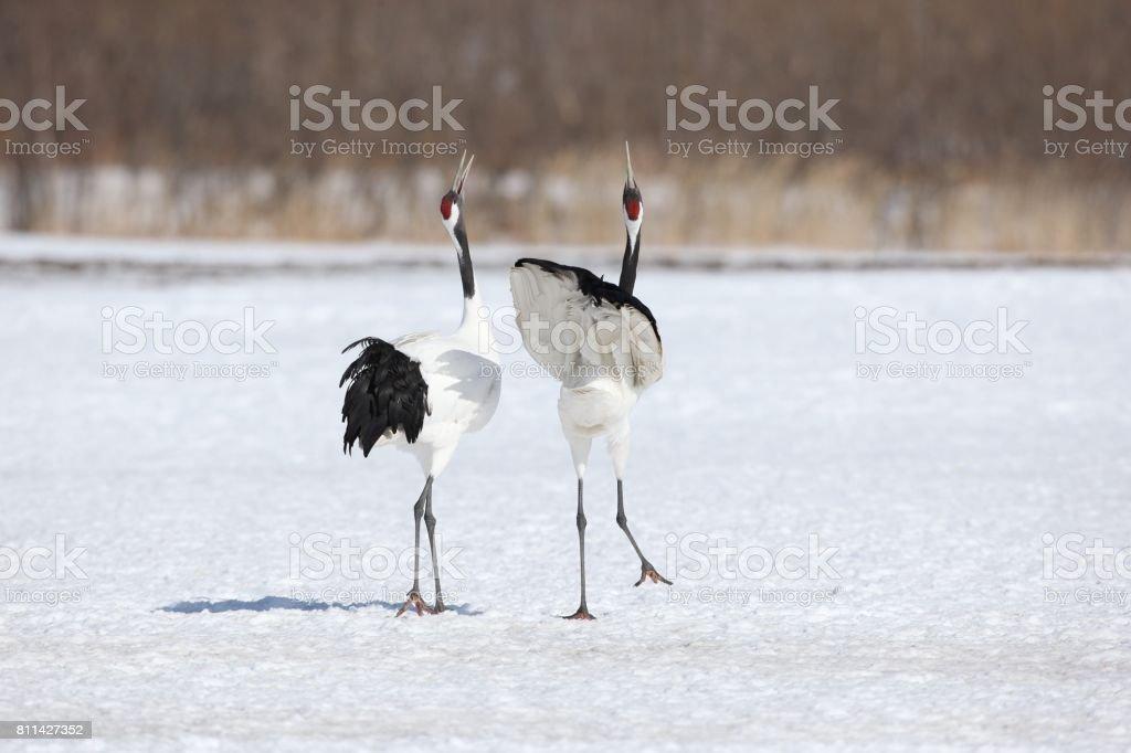 crane walk stock photo