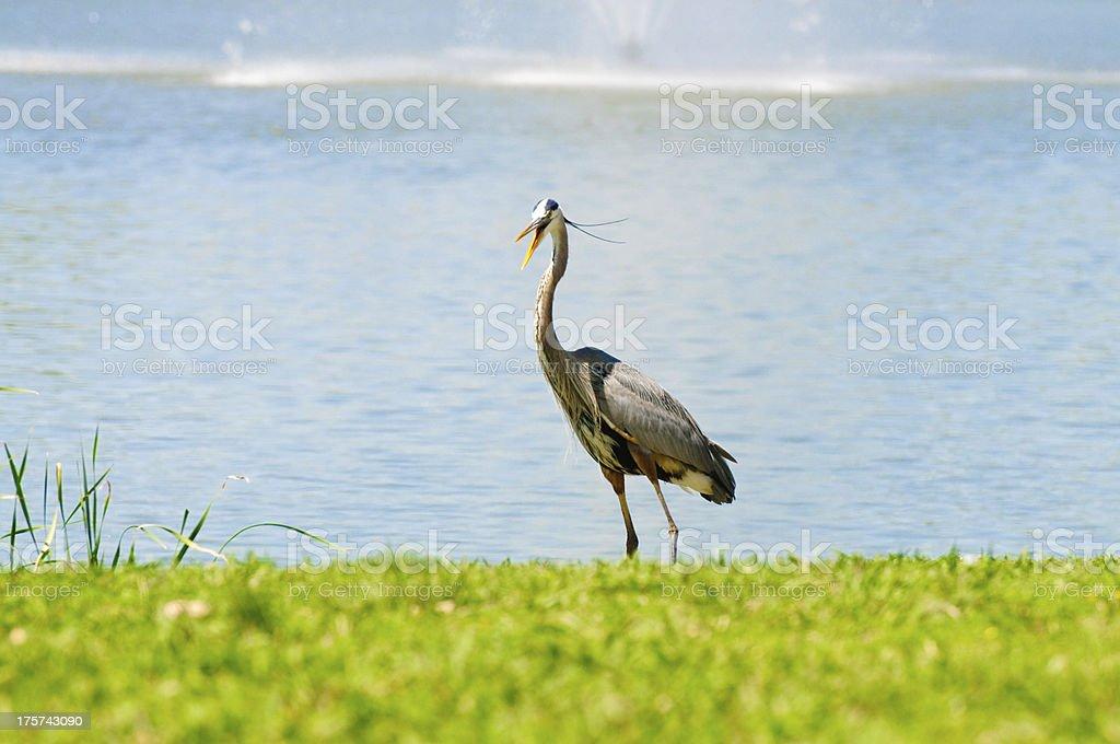 Crane with open beak stock photo
