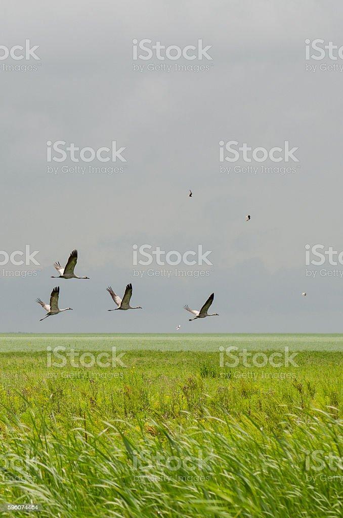 cranes fly stock photo