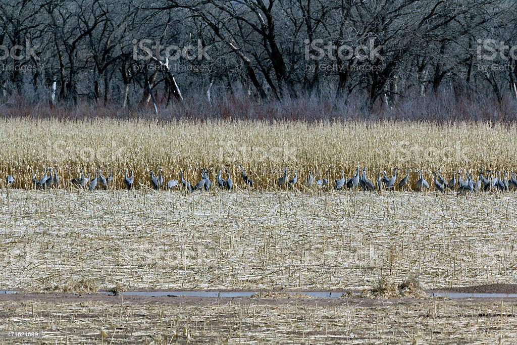 Cranes in the cornfield royalty-free stock photo