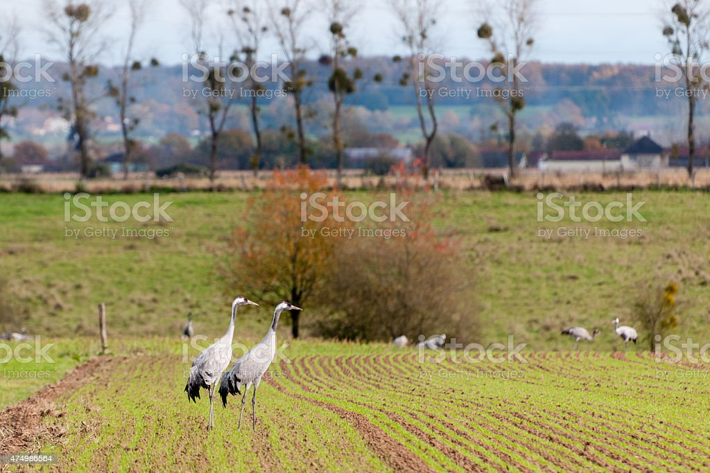 Cranes in the fields at Der Lake in the fall migation stock photo