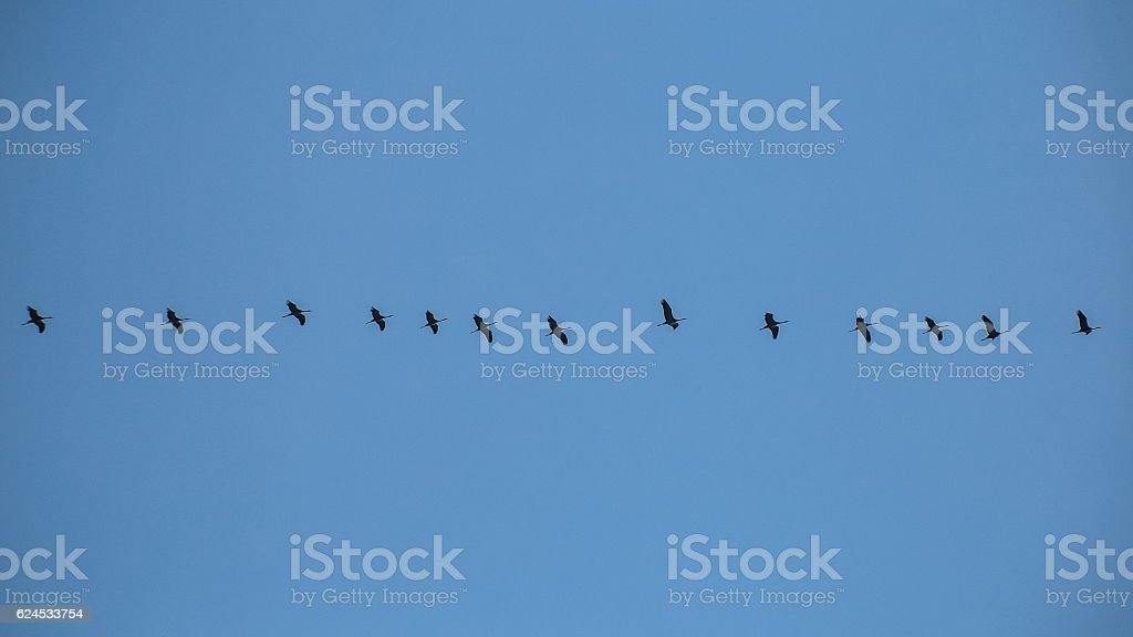 Cranes Migrating, Silhouettes of birds flying in a row stock photo