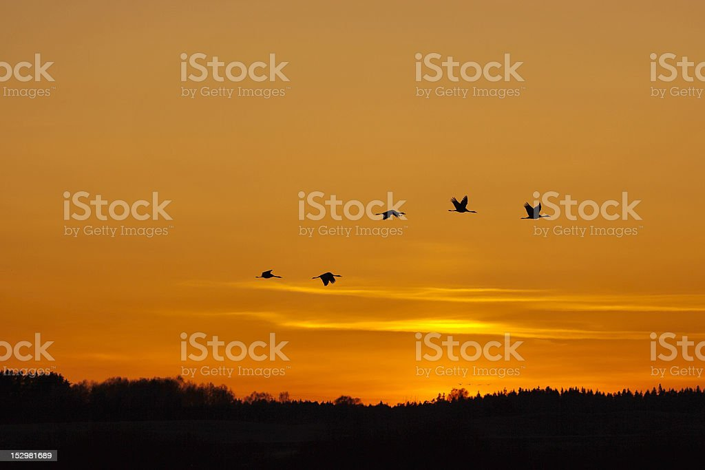 Cranes thats fly in the evening light royalty-free stock photo