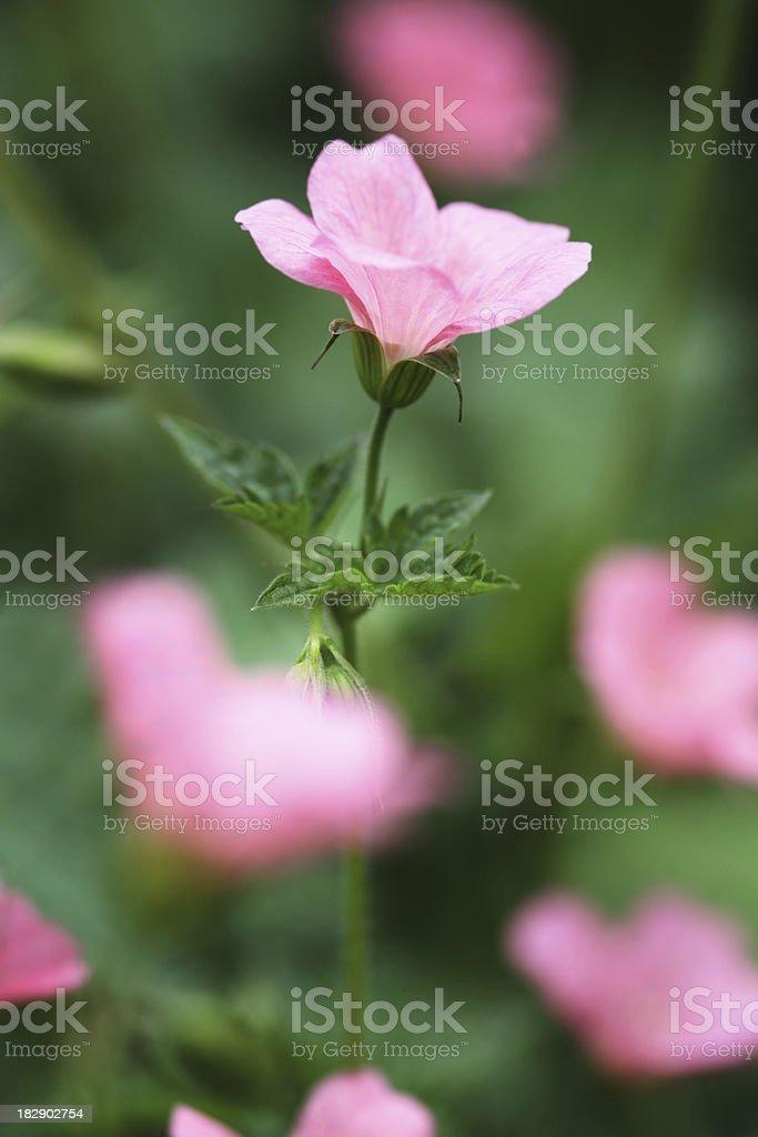 Cranesbill Geranium Wargrave Pink stock photo