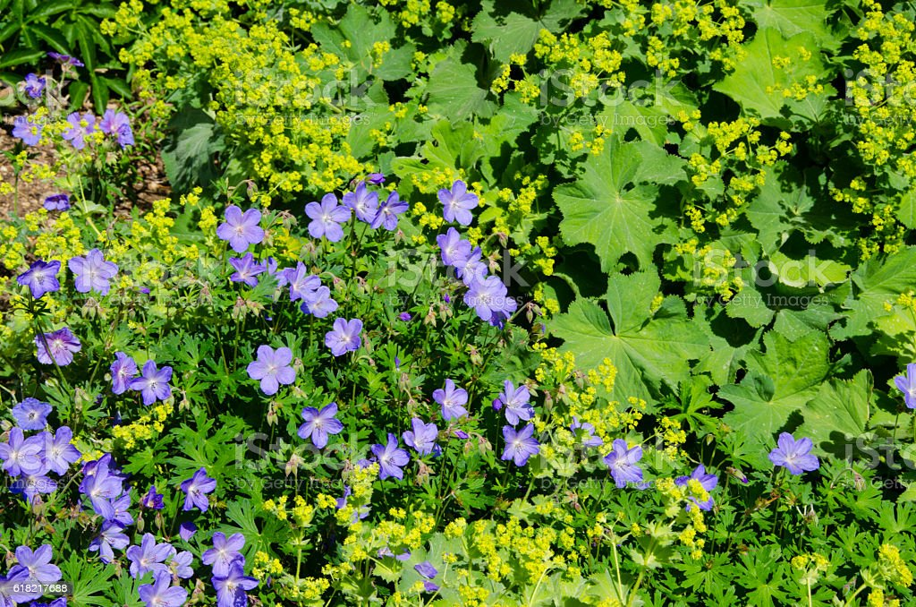 Cranesbill Geraniums and Lady's Mantle Plants in Full Bloo stock photo