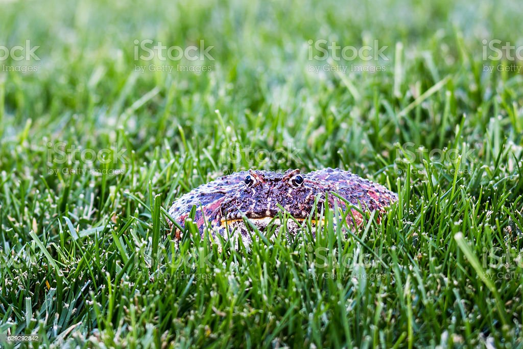 Cranwell's Horned Frog in Grass stock photo