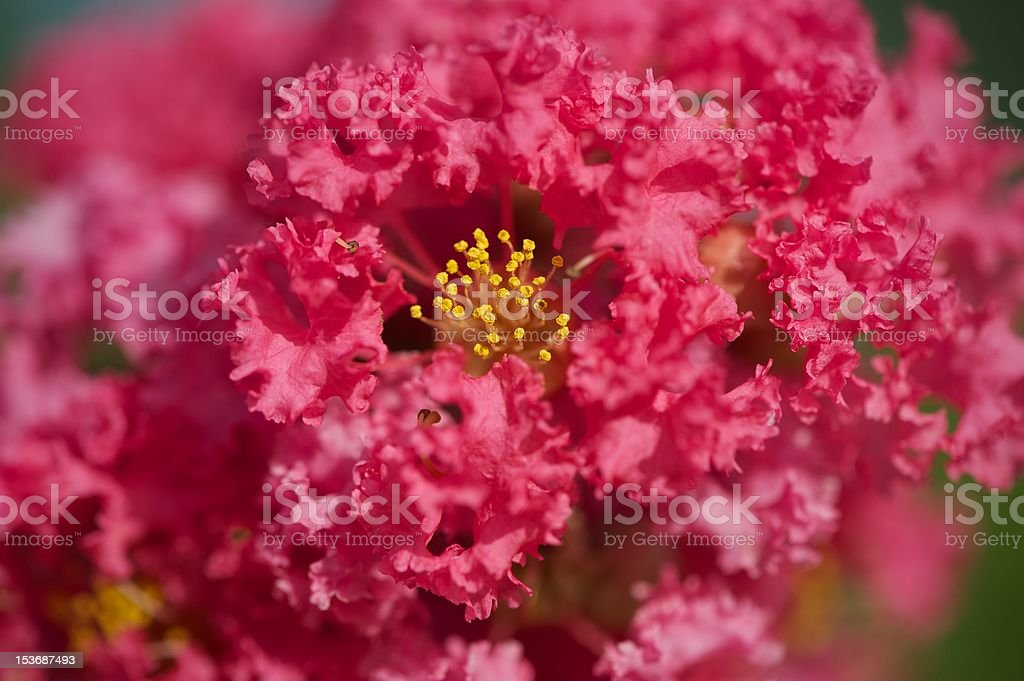 Crape Myrtle Flower stock photo