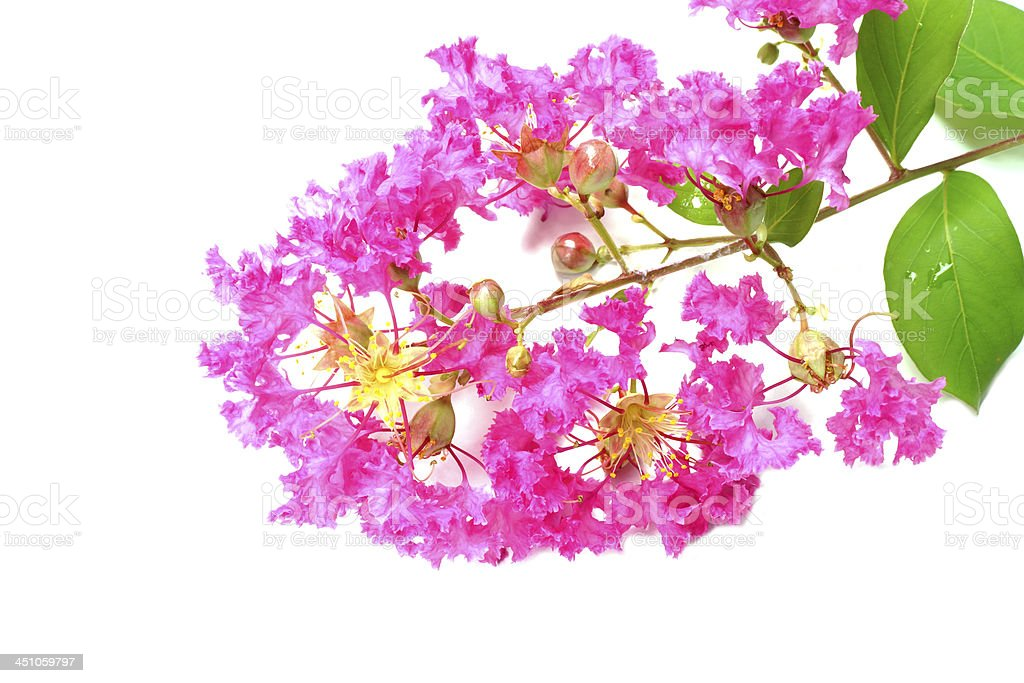 Crape Myrtle Flowers (Lagerstroemia indica L.) stock photo
