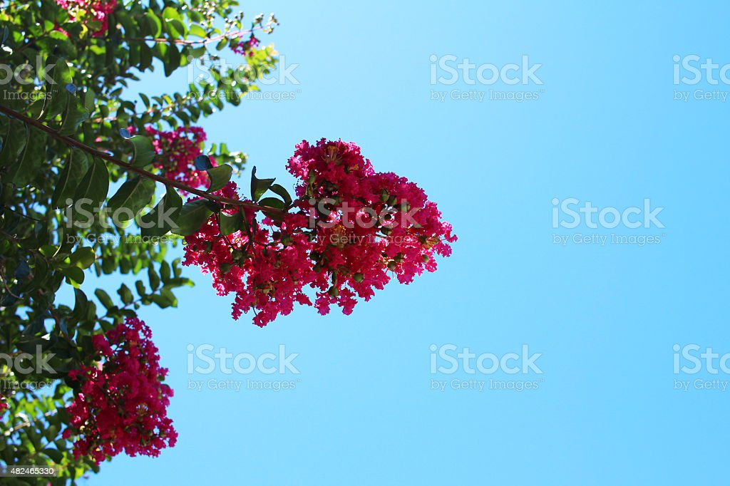 Crape myrtle stock photo