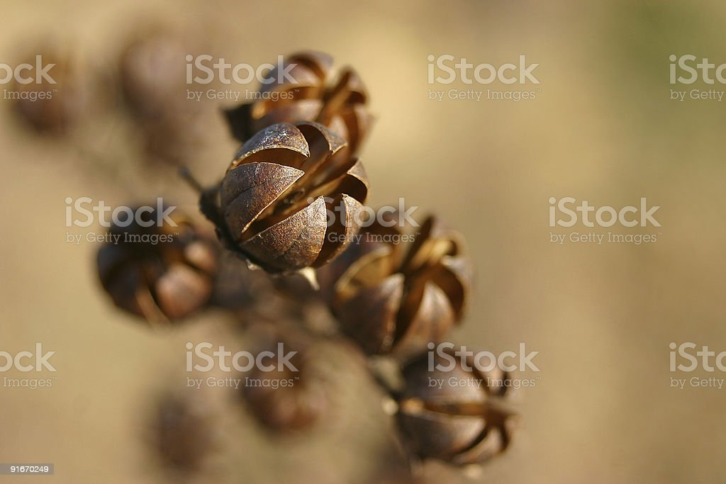crape myrtle seed pods royalty-free stock photo