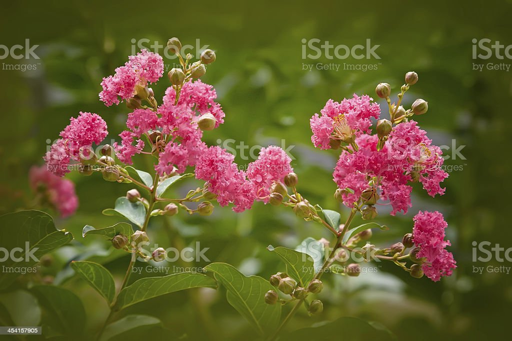 Crape Myrtle Tree stock photo