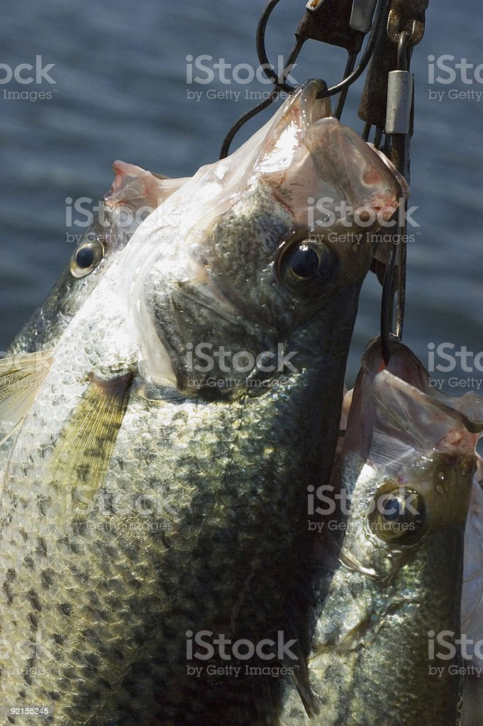 crappie on a stringer stock photo