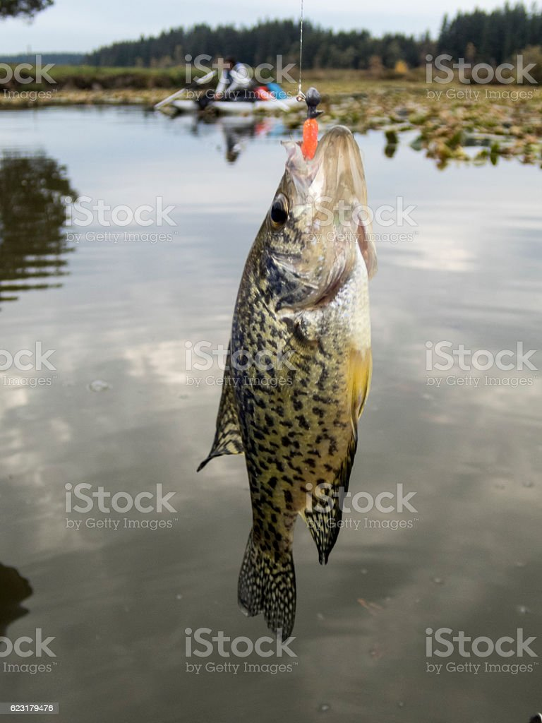 Crappie Sunfish Hooked Jig in Mouth Woman in Boat Background stock photo