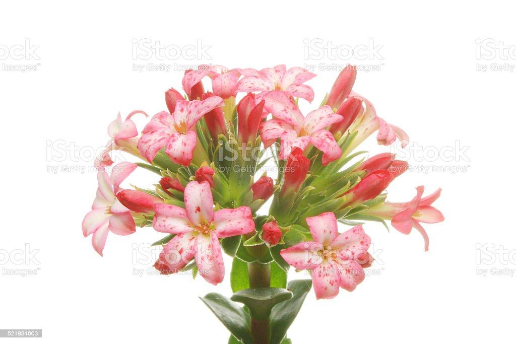 Crassula Coccinea flower head stock photo
