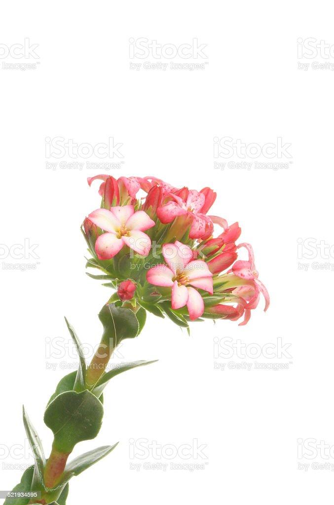 Crassula Coccinea plant stock photo