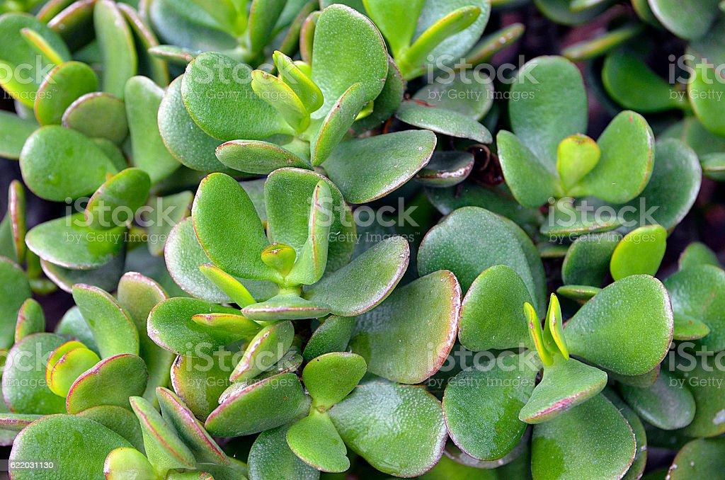 Crassula ovata (Jade Plant,Money Plant) succulent plant close up. stock photo